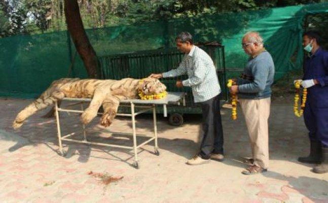 नहीं रहा लखनऊ जू की शान सफेद बाघ आर्यन