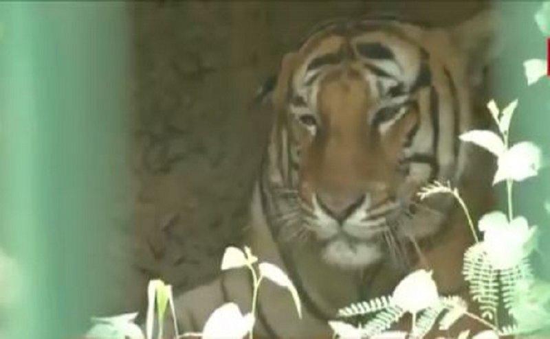 लखनऊ जू का सबसे बुजुर्ग बाघ 'शिशिर' पड़ा बीमार, खान-पान में की कमी
