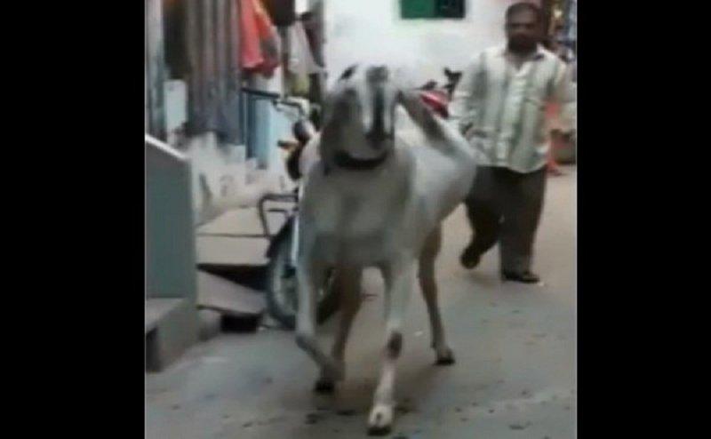 बकरीद 2018: ये है बाहुबली बकरा, सोशल मीडिया पर हो रहा वायरल