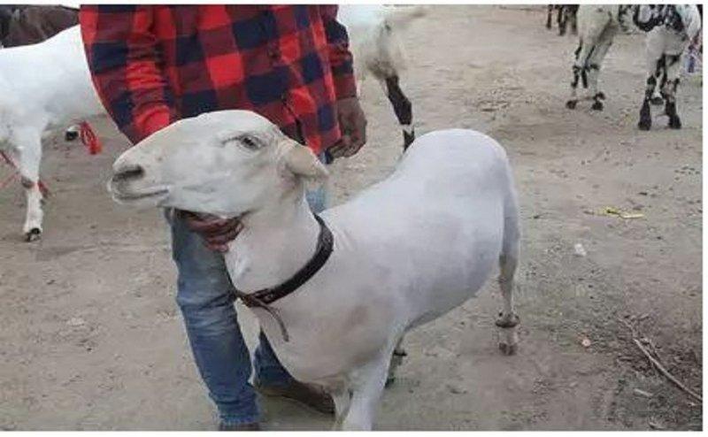 पांच लाख रुपए का बकरा खाता है एक किलो ड्रायफ्रूट, एसी में रहता है ये दुम्बा