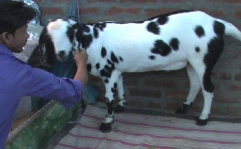 गोरखपुर में इस बकरे की खूब हो रही चर्चा, नाम है 'सलमान' और कीमत है '5 लाख'