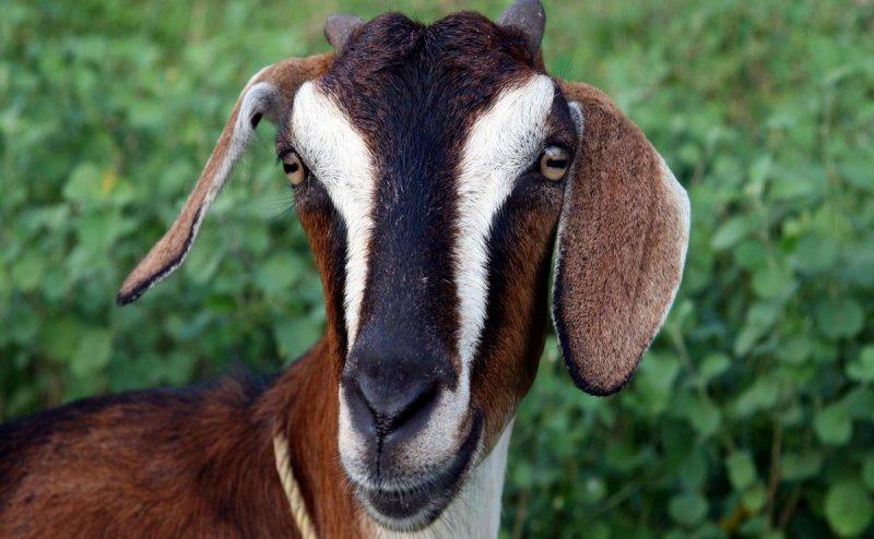 हमीरपुर में बकरी से कुकर्म, नग्न अवस्था में दीवार कूदकर भागा आरोपी