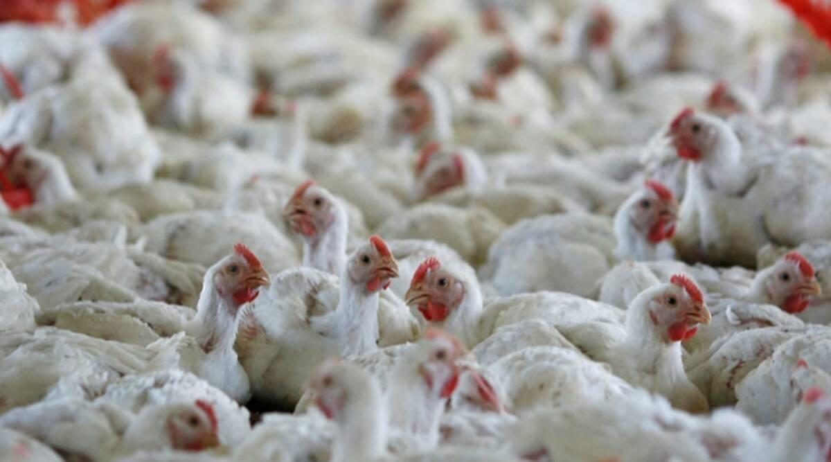 4 मुर्गियों की मौत से बर्ड फ्लू की आशंका जांच कराने के लिए भोपाल भेजे सैंपल