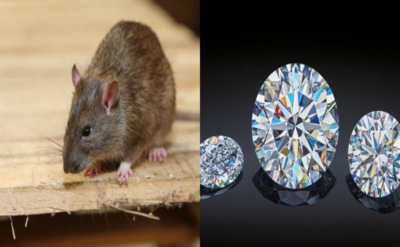 बिहार: चूहों ने पहले शराब गटका और अब बन गए Jewel Thief, पटना के शोरूम से उड़ाए करोड़ों के हीरे