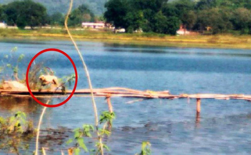 त्रेता युग में भगवान राम के लिए पुल बनाया था, कलयुग में टापू में फंसे बंदरों को अस्थाई पुल से निकाला बाहर