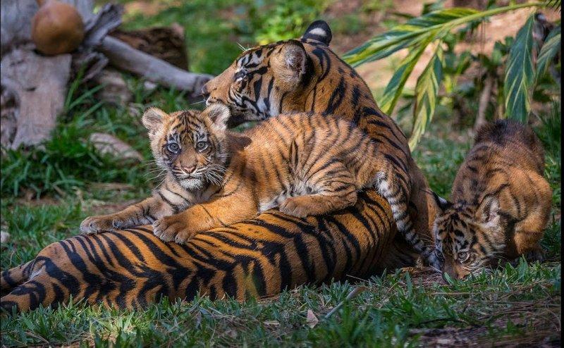 शादी की दावत के लिए मार डाला शावक बाघ, यहां भोज में पकाया जाता है जंगली जानवरों का मांस