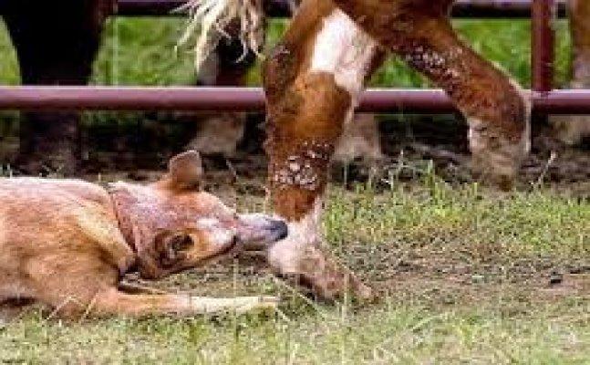 नैनीताल- गाय के दूध मे रेबीज की अफवाह से मचा हड़कंप