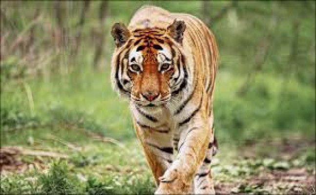 नैनीताल- टला नहीं है खतरा अभी बाघों का, रहें सावधान