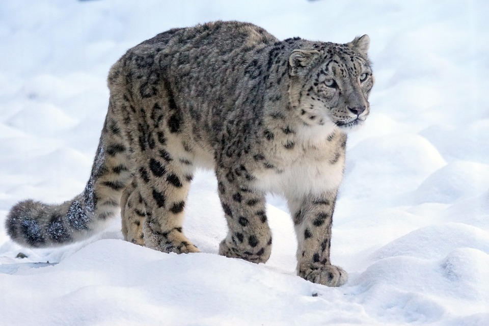 India's first Snow Leopard Conservation Centre in Uttarkashi forests