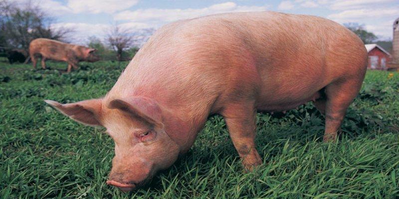 Swine Flu: Risk Factors, Treatment and More..