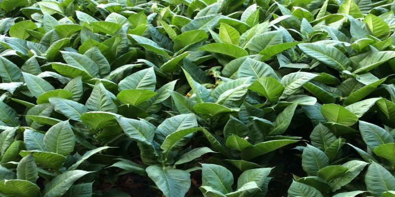 Type 2 diabetes and arthritis: Tobacco plants may benefit health- medicinal uses of the Nicotiana plant