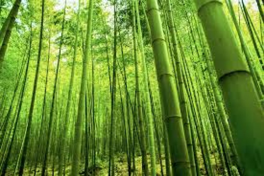 Bamboo plantation for clean Ganga, uplift of poor farmers