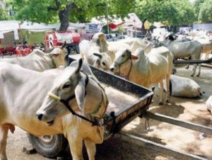 Two held in Thane for transporting beef illegally
