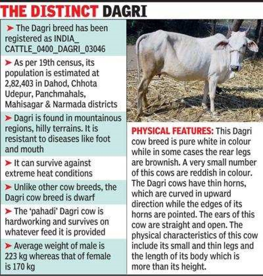 Gujarat's 'Dagri cow' gets national recognition as indigenous breed