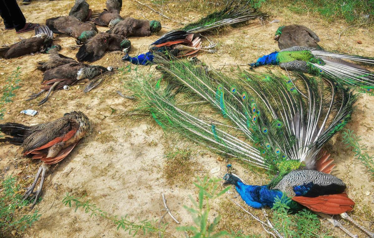 Bird Flu Alert; 30 Pigeons and 3 Peacock Found Dead