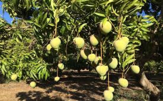 Horticulture department plans mango tourism this year