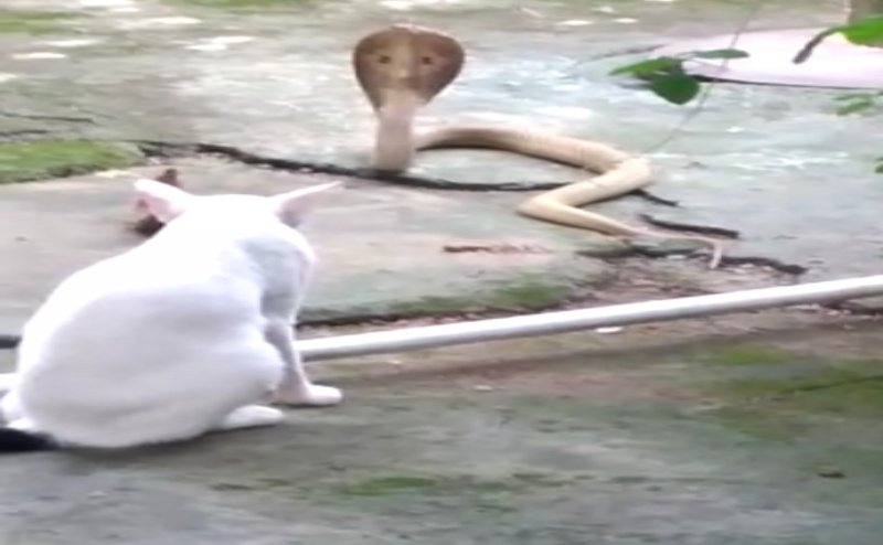 Odisha: Pet cat `Chinu` saves owner`s life, prevents 4 ft long cobra from entering house for 30 min