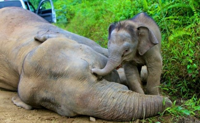 Heritage under threat as killing of elephants go unabated