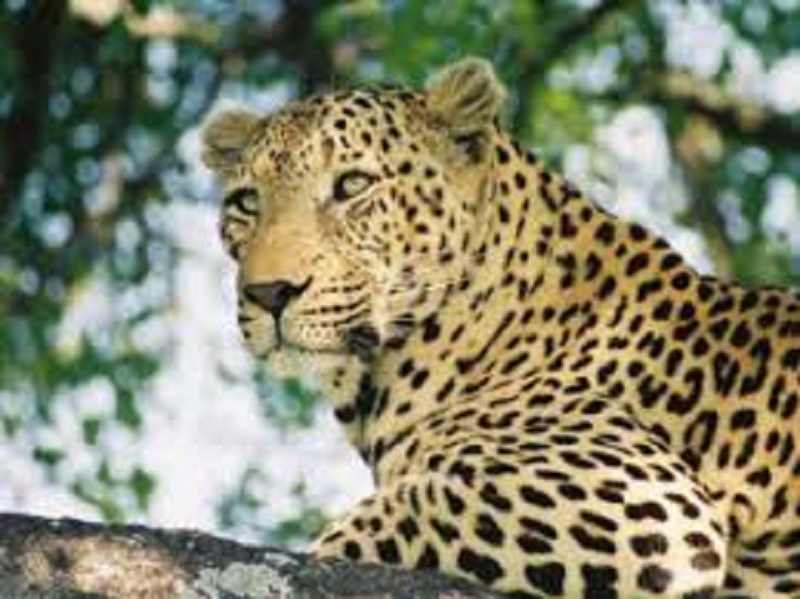 Leopard sighted near N Begur, Koppa areas in Bengaluru