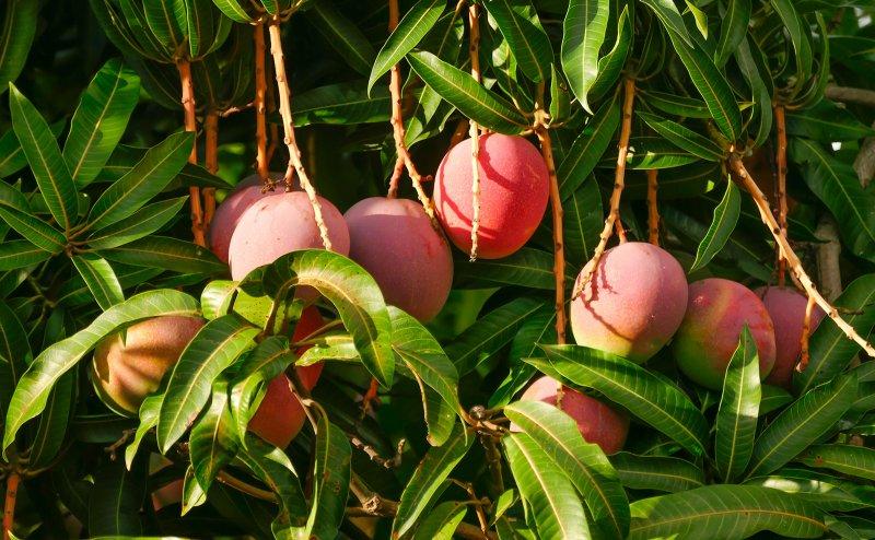 South Gujarat women mango farmers turn cyclone into rainmaker