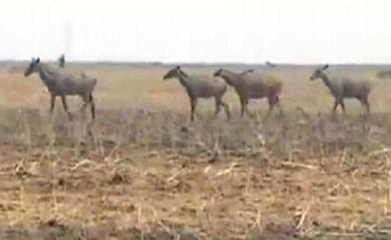 Uttarakhand receives nod to kill Nilgai after forest department's permission