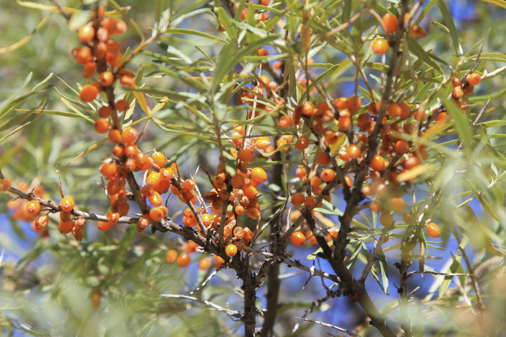 'Seabuckthorn' Is That The Panacea To All That Ails Humanity! Including Covid-19, Back To Half A Century Old Connect With Nature !
