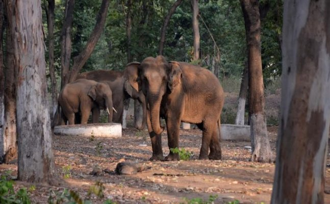 Sleepless nights for wildlife personnel as limping tusker's hide & seek continues